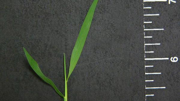 Nimblewill leaf blade