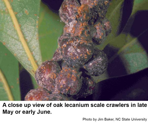 Oak lecanium scale crawlers