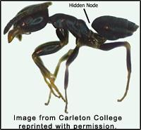 Figure 10. Odorous house ant.