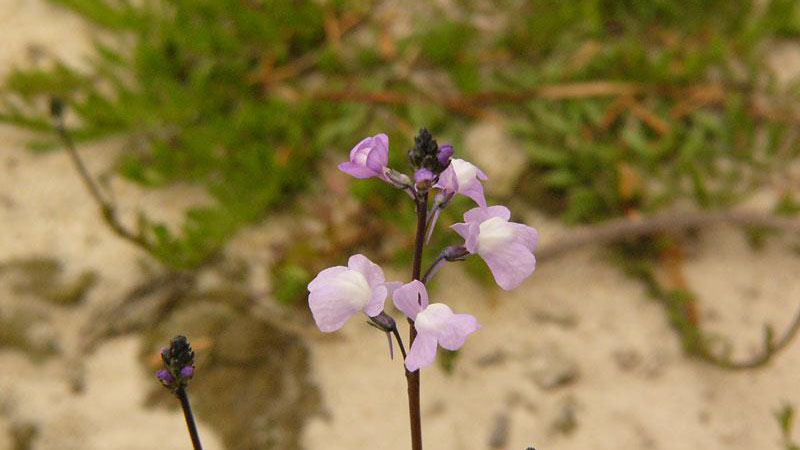 Oldfield toadflax flower color.