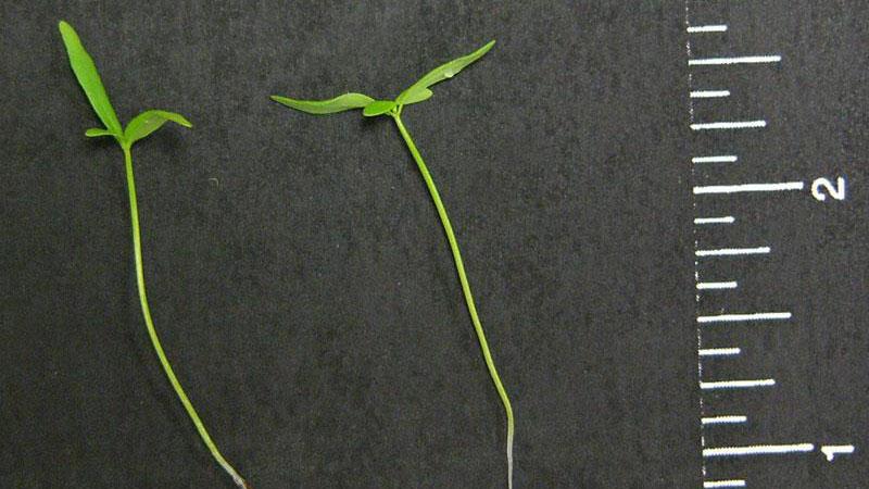 Oldfield toadflax leaf width.