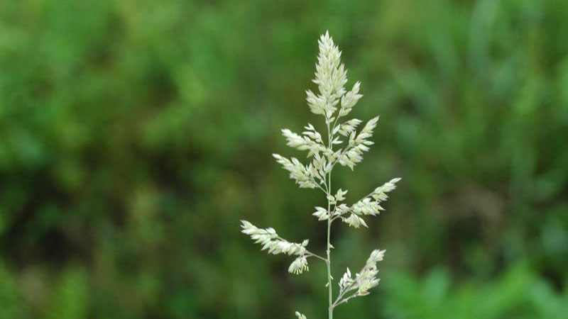 Orchardgrass seedhead