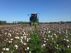 Photo of organic cotton harvested in November 2016