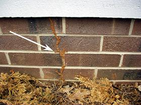 Termite mud tubes on exterior foundation wall