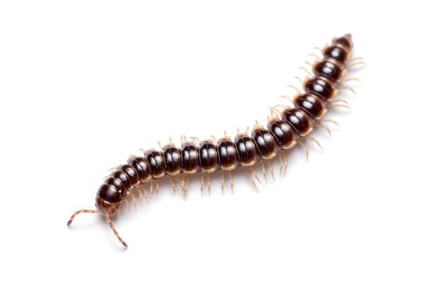 Thumbnail image for Millipedes in Turf