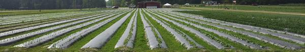 Thumbnail image for Sustainable Practices for Plasticulture Strawberry Production in the Southeast