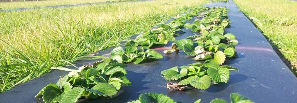 Photo of a field of strawberry crops.