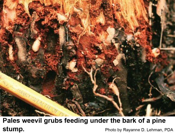 Pales weevil grubs