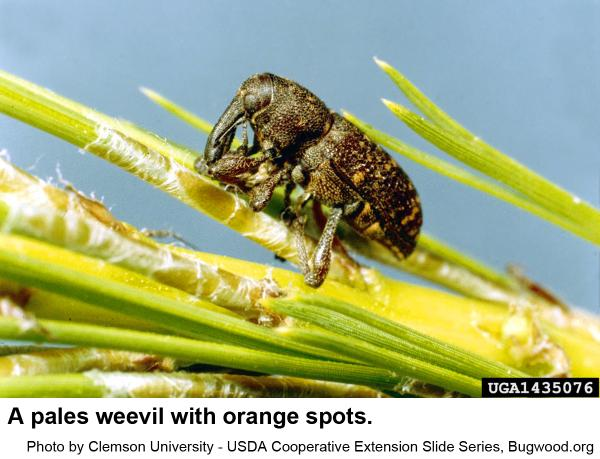 This pales weevil has orange spots