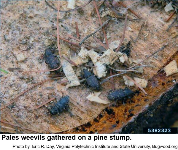 Pales weevils are attracted to freshly cut pine stumps.