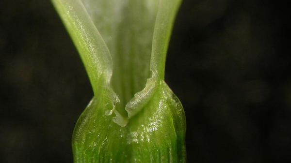 Perennial ryegrass ligule