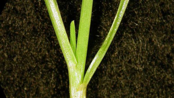 Perennial ryegrass vernation