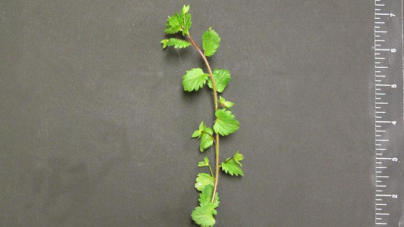 Persian speedwell leaf arrangement.