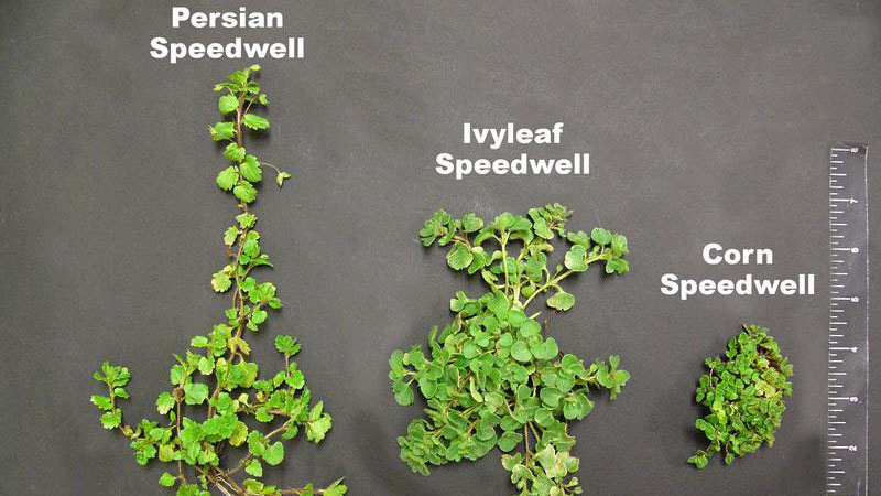 Persian speedwell growth habit.