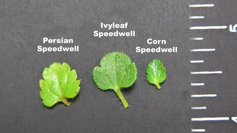 Persian speedwell leaflet shape.