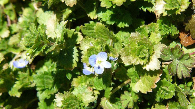 Persian speedwell flower color.