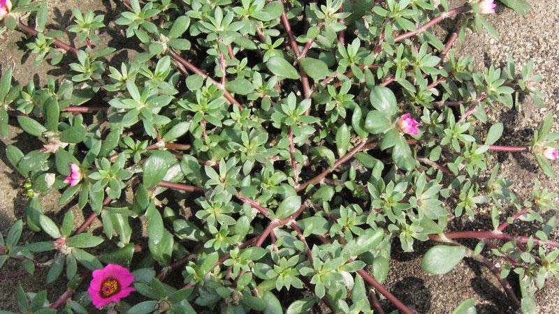 Thumbnail image for Pink Purslane