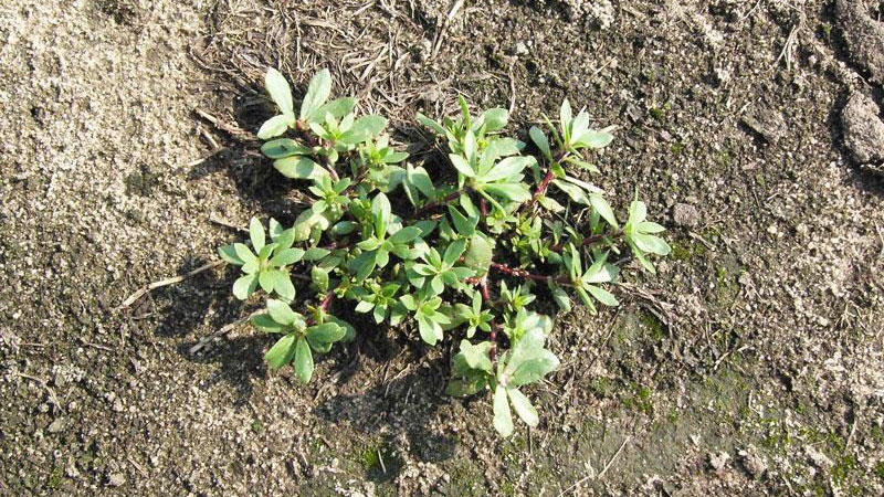Pink purslane growth habit.