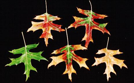 Photo of pin oak leaves displaying scorch symptoms.