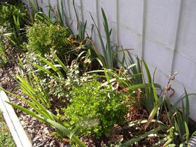 Moist-wet mulched garden beds are attractive sites for millipede