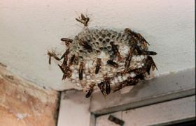 Figure 2. Paper wasp honeycomb-like cells.