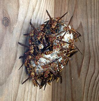 Polistes wasps on a mature nest