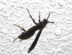 Figure 1. Paper wasp.