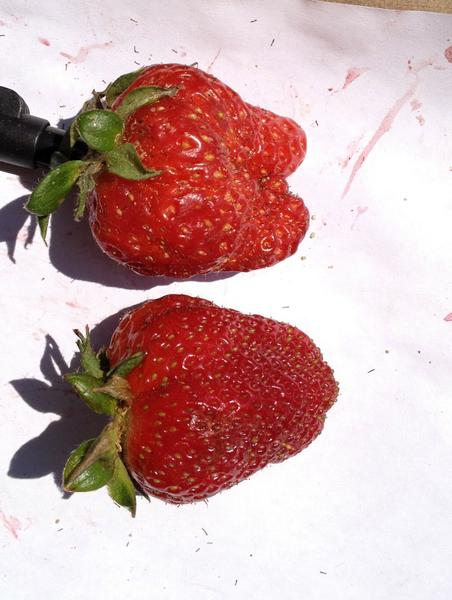 Misshapen strawberries
