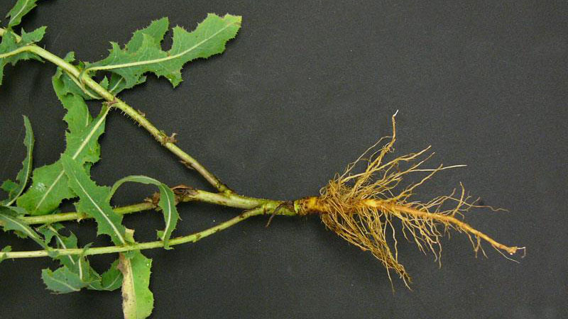 Prickly lettuce root type.