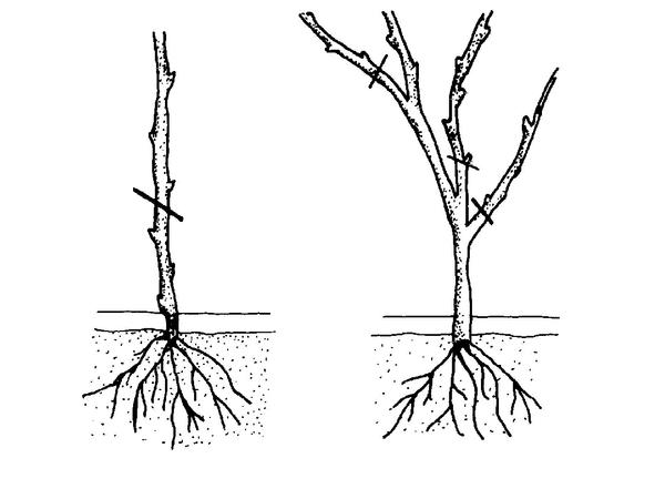 prune after planting