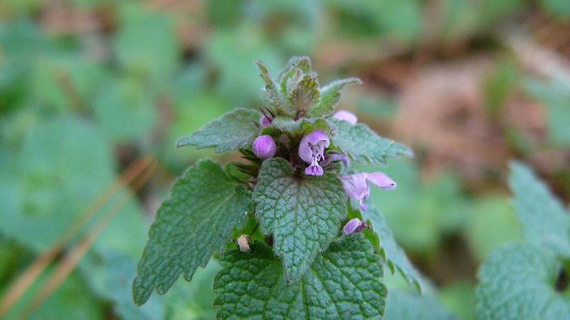 Purple deadnettle flower color.