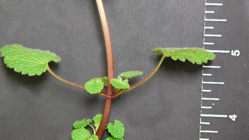 Purple deadnettle leaf margin.