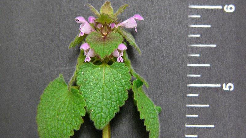 Purple deadnettle leaf arrangement.