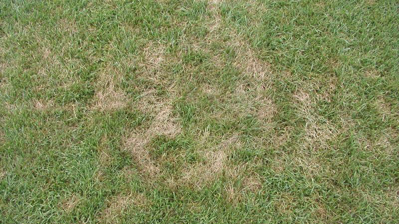 Fantastic Pythium Blight in Turf | NC State Extension Publications GP76