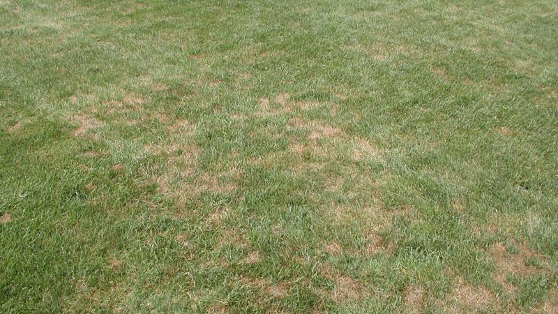 Pythium blight stand symptoms.
