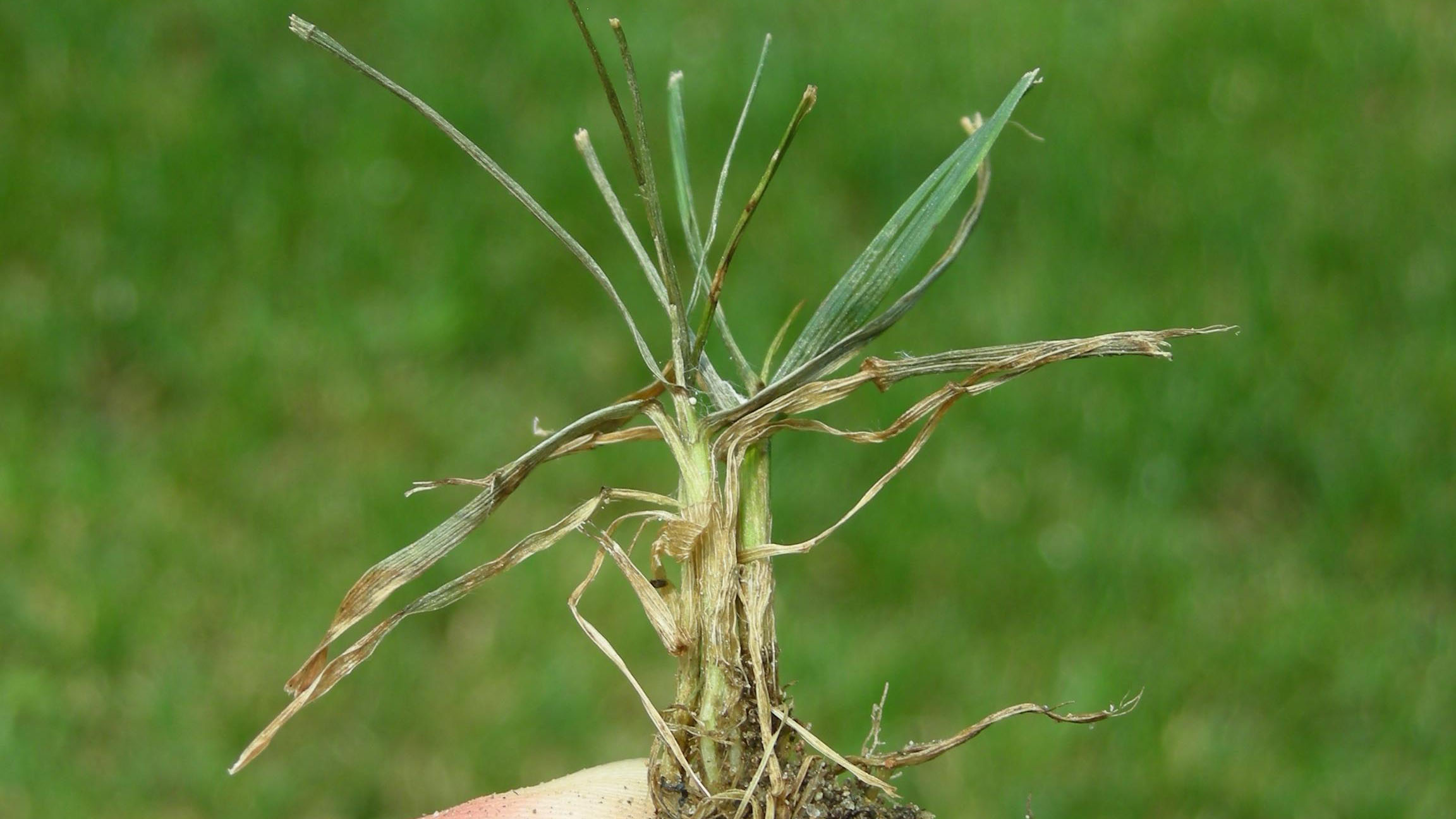 Thumbnail image for Pythium Blight in Turf