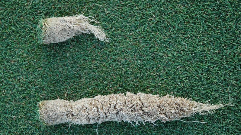 Pythium root dysfunction root / crown symptoms.