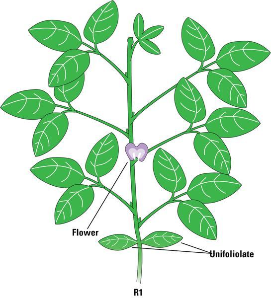 The Soybean Plant | NC State Extension Publications