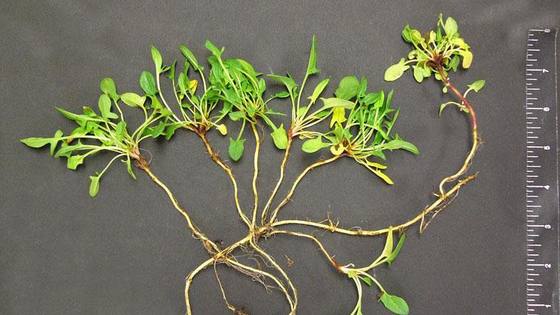 Red sorrel growth habit.