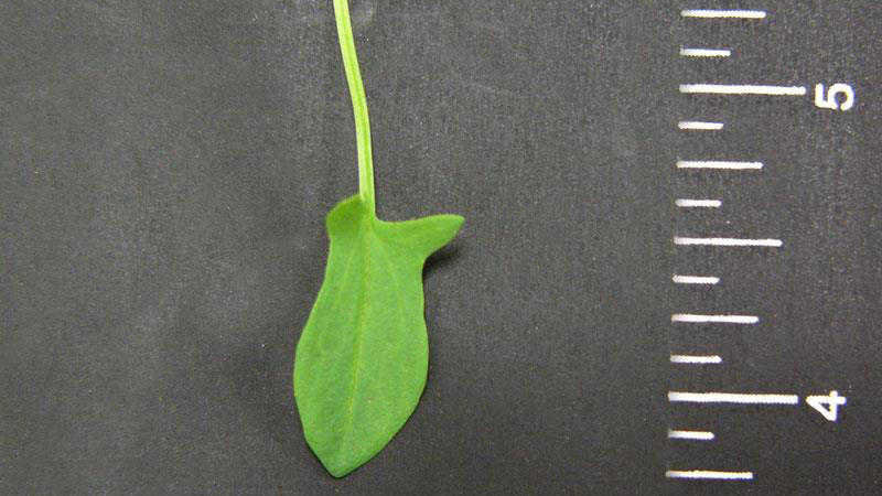 Red sorrel leaflet shape.
