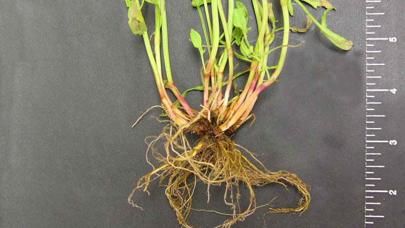 Red sorrel root type.