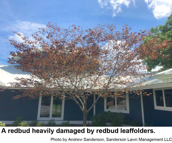 Redbud leaffolders are tiny caterpillars that can cause much dam
