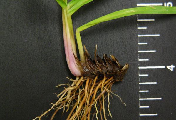 Figure 15. Bahiagrass rhizomes.
