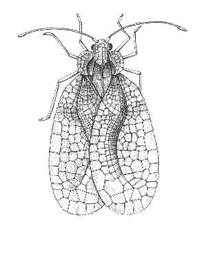 Figure 5. Adult of the rhododendron lace bug.