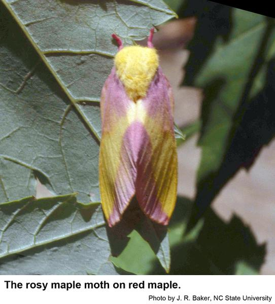 rosy maple