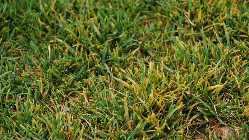 Rust foliar symptoms