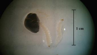 Rice water weevil larvae and pupae