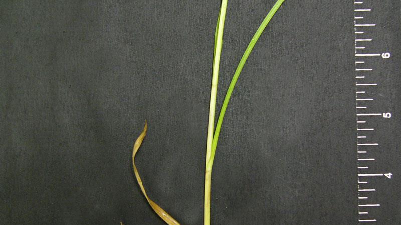 Sandbur  leaf blade width