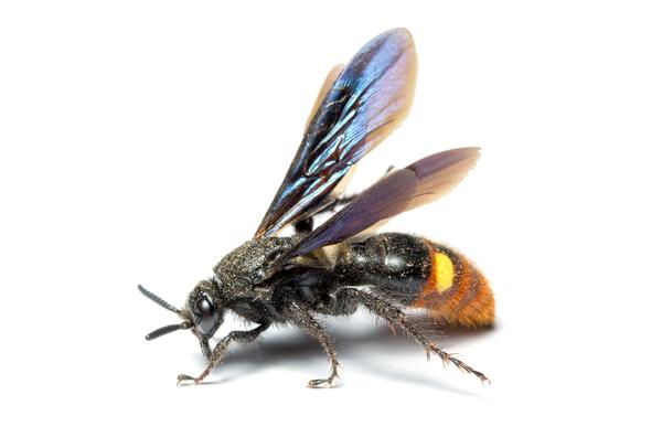 Figure 1. Adult Scoliid wasp