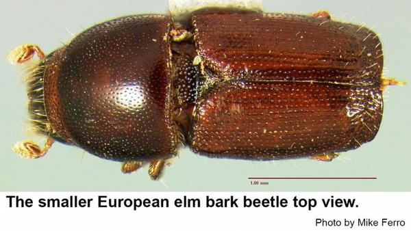 Smaller European elm bark beetles and small and dar.